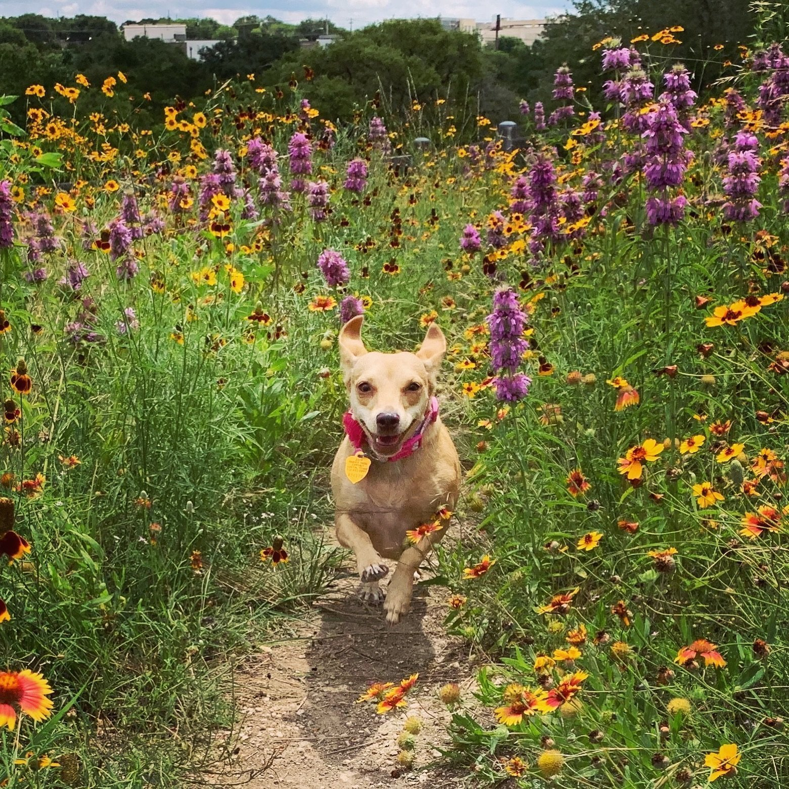 Penny the chiweenie's dog diet lifestyle diaries