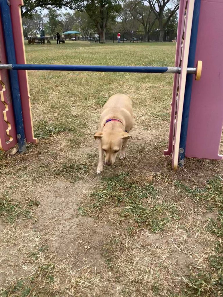 Penny the chiweenie in georgetown texas dog work out diaries