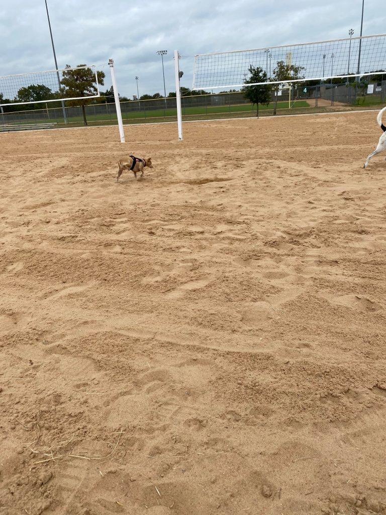 Penny the chiweenie in georgetown texas trying to jog in the sand