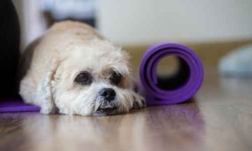 Little dog laying beside his yoga mat.