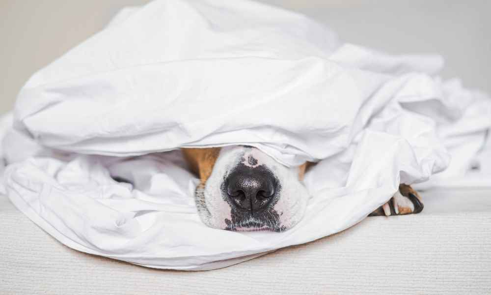 Reasons why your dog may burrow under the covers
