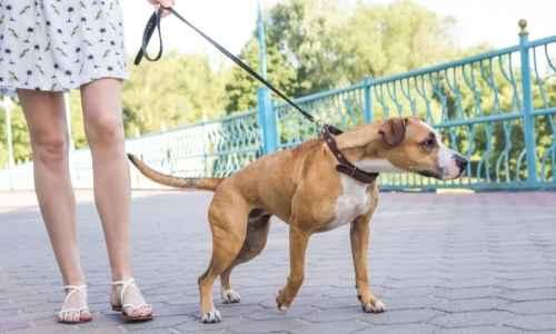 Dog pulling himself on a walk