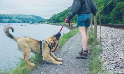 Dog pulling on leash while walking with dog mom