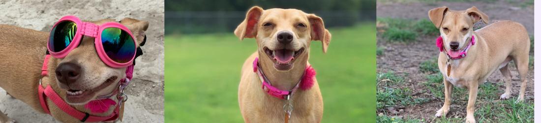 chiweenie basic dog mom header blog post