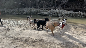 A group of dogs play together at a dog park with a creek.