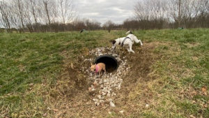 Dogs playing at a dog park that has an underground tunnel for them to roam through.