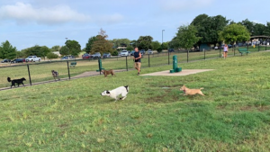 Dogs chasing each other having a great time at the dog park.
