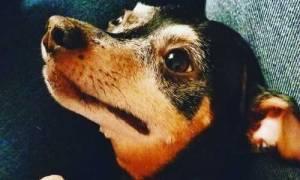 Tan and black chiweenie dog breed