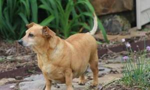 Slightly overweight and adorable chiweenie in the yard