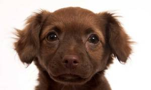 Brown colored chiweenie dog breed