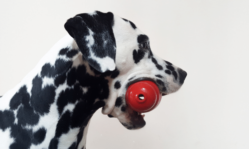Dalmatian holding a Kong before he plays
