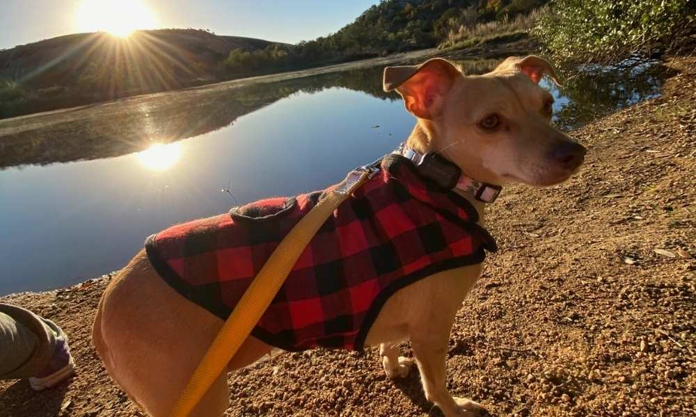 Adorable chiweenie with a plaid sweater on and a beautiful lake background.