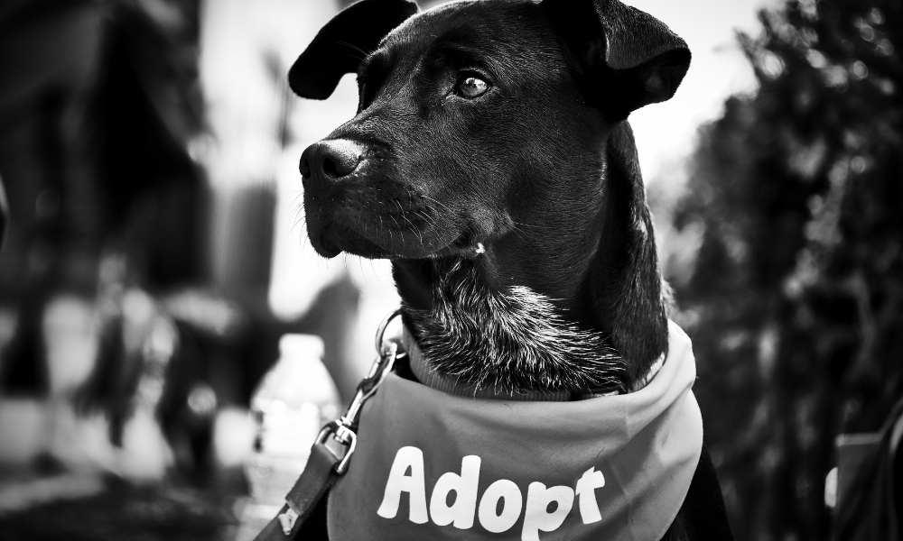 Rescue black dog with an Adopt bandana around their neck.