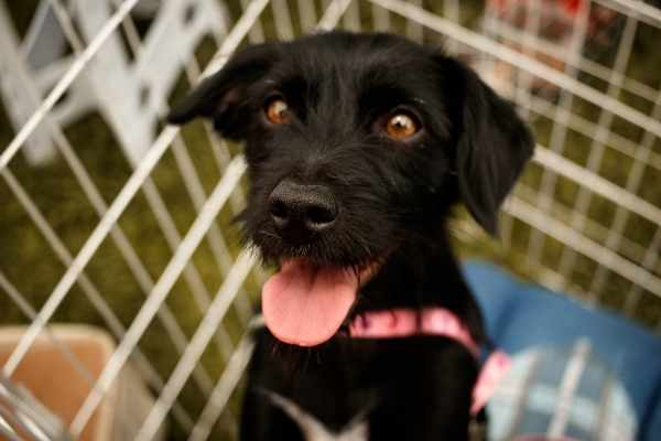 Black lab type rescue dog smiling up at a potential adopter.