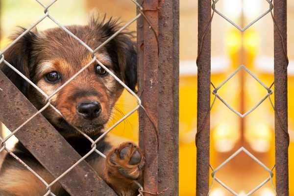 Rescue dog looking through fence waiting to be adopted.