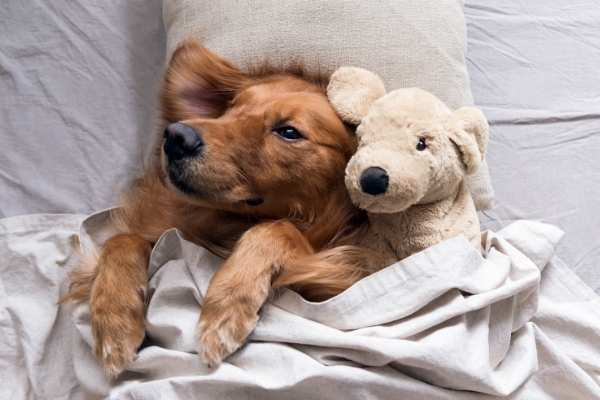 Adorable Golden Retriever cuddling with his stuffed Golden Retriever toy in the bed.