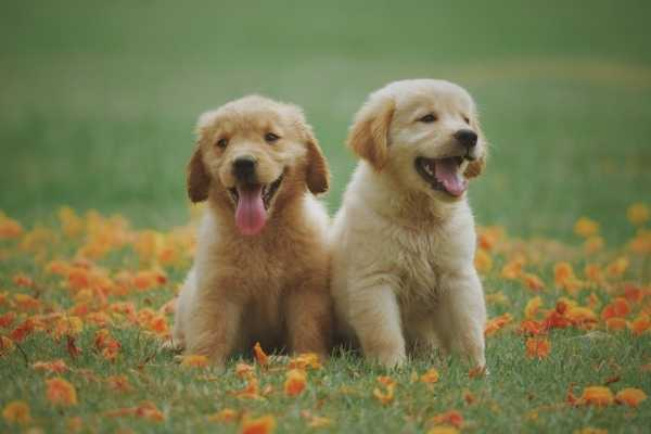 Two golden retriever puppies laying down on the flower field.
