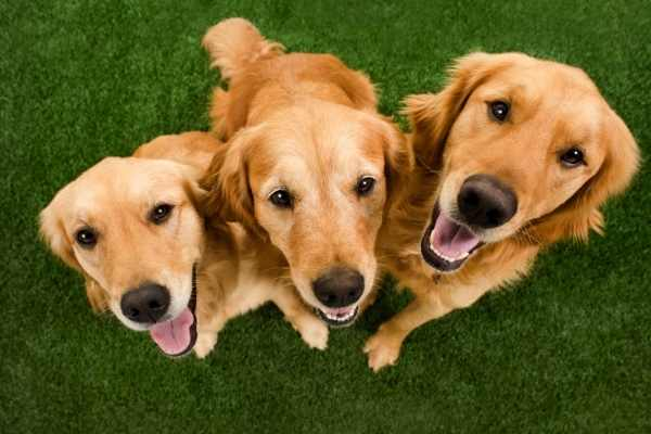 Three Golden Retrievers hanging out in the grass all smiles.