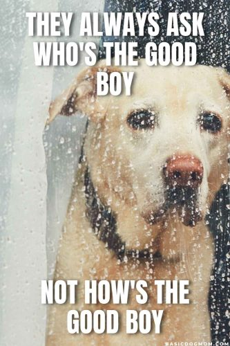 Funny Dog Meme - They always ask who is a good boy - not how is the good boy.