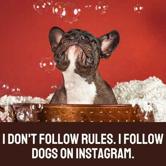 Clever dog Instagram captions - I don't follow rules. I follow dogs on Instagram.