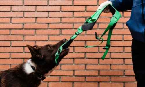 Training your pup to not pull on their leash requires proper gear and patience.