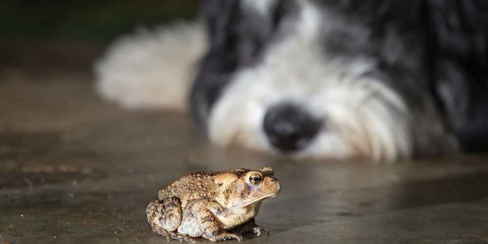 Are You Aware Of Toad Poisoning In Dogs